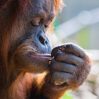 bornean-orangutan-and-human-hands-reaching-at-PQJHVWR