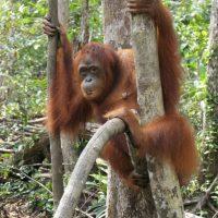 Orangutan tree skills