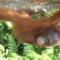 Precocious young orangutan