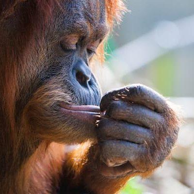 orangutan-P8JPGMQ